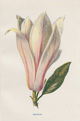 Magnolia Blossom Magnolia Tree Flower Floral Art Antique Botanical Print Hulme