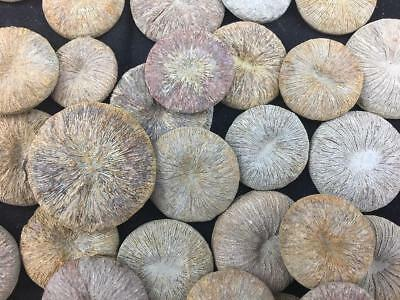 Lot Of 5 Cyclolites Sp. Coral Fossil From Morocco