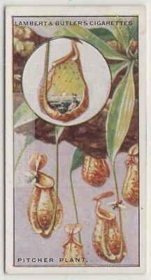 .Carnivorous Pitcher Plant Insect Eating Nectar Trap 85+ Y/O Trade Ad Card