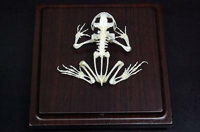 Real toad skeleton mounted with case and base,taxidermy,specimen.Christmas Gift