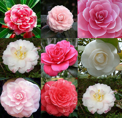Rare 100 MIXED DOUBLE CAMELLIA IMPATIENS Balsamina Flower Seeds 8 colors Fresh