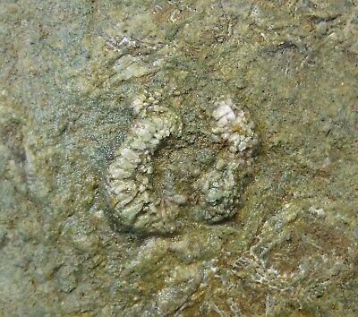 Ophiroids and Starfish - Mississippian Period -  Amazing Onychaster - AO2