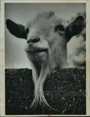 1962 Press Photo Long Bearded Goat at Chessington Zoo in Chessington, England