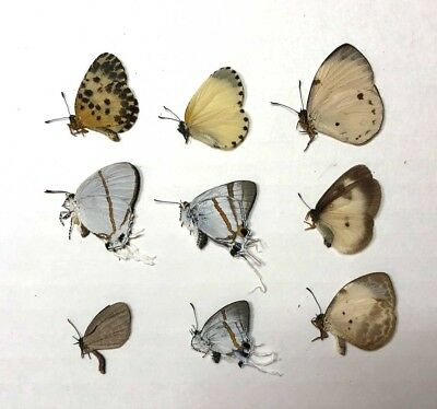 Unmounted Butterflies from Cameroon (Lycaenidae)