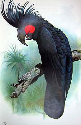 Original Old Vintage Print World Parrots 1973 Palm Cuckoo 20th Century