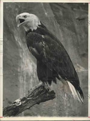 1979 Press Photo Eagle perched high on a branch - hcx03944