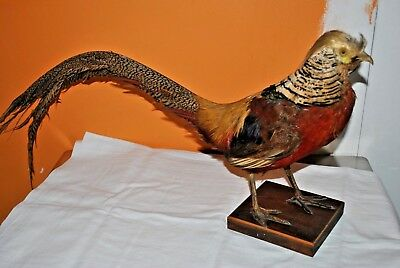 Faisan Naturalise - Taxidermie - Taxidermy - Pheasant - Chasse - Chasseur