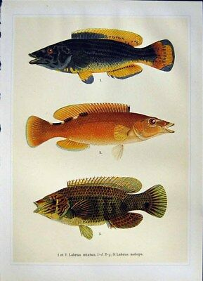 Old Vintage Print C1990 Fish Cuckoo Wrasse Corkwing Labrus Mixtus Melops 20th