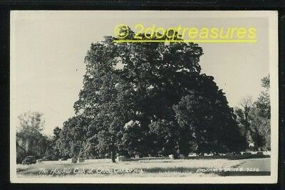 Rppc The Hooker Oak At Chico Ca California Old Cars Real Photo Butte County