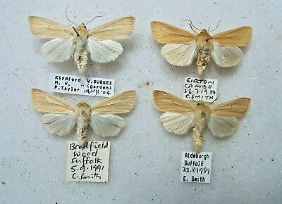 BRITISH M. pallens The Wainscot moth Sussex, Cambs & Suffolk 1989-2004