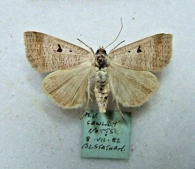 BRITISH O. craccae Scarce Blackneck Notts 1982