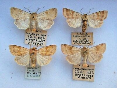 BRITISH D. mendica Ingrailed Clay moth Kent & Hants 1946-59 CHALMERS-HUNT