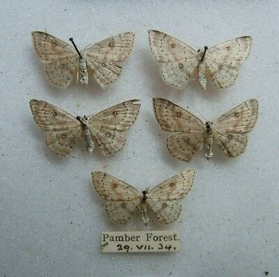 BRITISH CV. albipunctata Birch Mocha Pamber Forest, Hants 1934