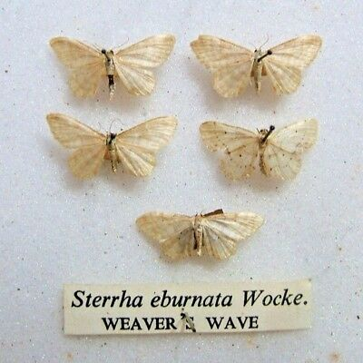 BRITISH S. eburnata Weaver's Wave moth