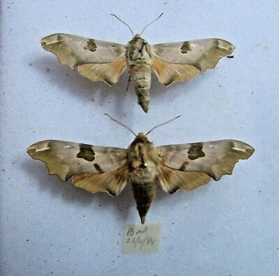 BRITISH M tiliea Lime Hawk moth variants Bred 1984