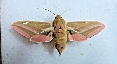BRITISH D. elenor Elephant Hawk moth  VARIANT