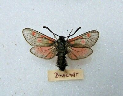 BRITISH Z. exulans Scotch or Mountain Burnet moth Breamar c. 1900
