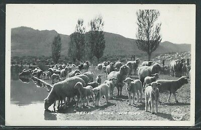 CA California RPPC 1950's SHEEP & LAMBS at WATERING HOLE Stock Pond by Frashers