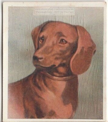 Dachshund  Dog Pet Animal Canine c80 Y/O Trade Ad Card