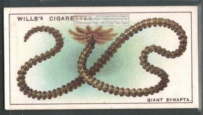 Giant Synapta Sea Cucumber c90 Y/O Trade Ad Card