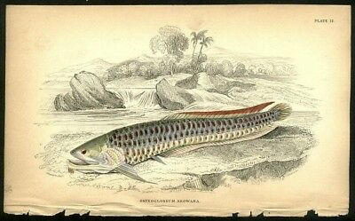 Arowan Fish Of Guiana c1840 Jardine Engraving Hand Colored