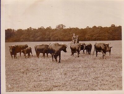 England Cow Farming  Man on Horse Cow-boy vaches veaux troupeau old Photo 1930'