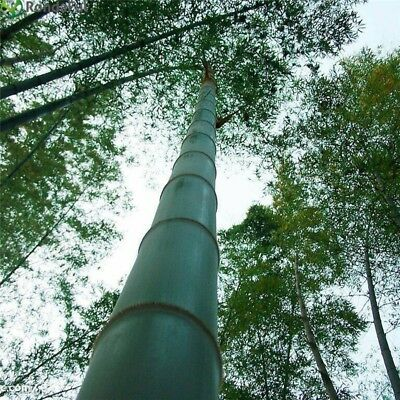50 Moso bamboo Seeds Phyllostachys Pubescens Giant plant