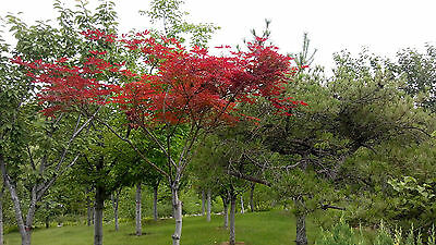 20 JAPANESE MAPLE TREE Acer Palmatum Red tree Seeds