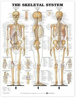 The Skeletal System Anatomical Chart by Anatomical Chart Company 9781587790638