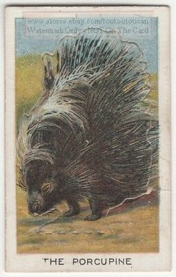 Porcupine With Pop-Up Image 1920s Ad Trade Card