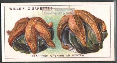 A Starfish Opening An Oyster c90 Y/O Trade Ad Card