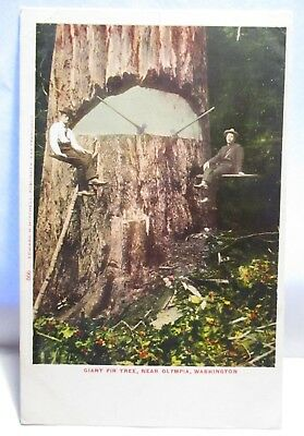 "1900 Tint Postcard "" Giant Fir Tree, Near Olympia Wa "" Men, Pose W/ Axes Unused"