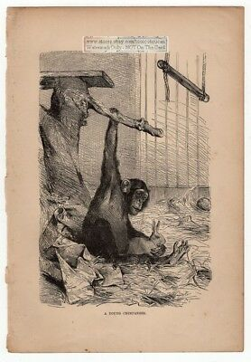 A Young Chimpanzee with Pet Rabbit c1895 Print