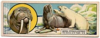 Walrus Tusks For Defence Cutting Ice Getting Out Of Water c80 Y/O Trade Ad Card
