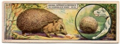 Hedgehog Defence Roll Into Ball Spines Point Outwards c80 Y/O Trade Ad Card
