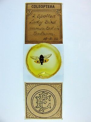 Antique Microscope Slide. Fred East (Quekett). 2 Spotted Lady Bird.