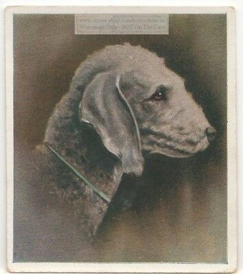Bedlington Terrier Dog Pet Animal Canine c80 Y/O Trade Ad Card