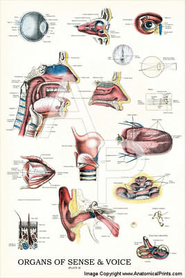 Eye Ear Nose Human Anatomy Poster 24 X 36 Anatomical Chart Vintage Images