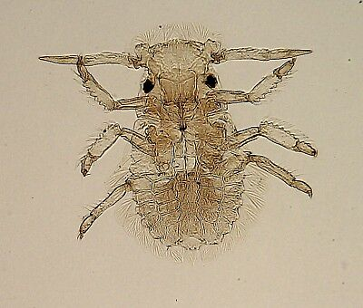 """Antique Microscope Slide. """"Leaf Insect""""."""