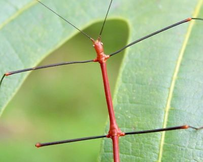 "RED Stick Insect – Lonchodiodes sp. ""Ilocos"", 10 EGGS"