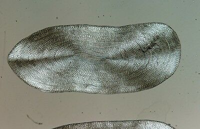 Antique Microscope Slide by Smith, Beck & Beck. Scale of Eel.