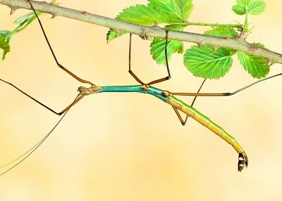"""GOLD/BLUE Stick Insect – Lopaphus sp. """"Cuc Phuong"""", 10 EGGS"""