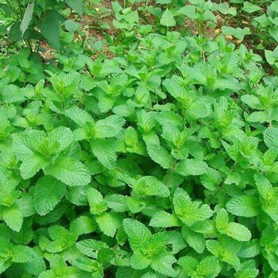 Herb - Mint Green | Spearmint | 500 Seeds | Quality Branded Sealed Scented