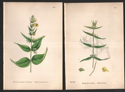 Lot of 2 1863 Sowerby Hand Colored Botanical BloomingFlowering Plant Prints 13
