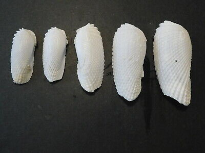 5 ANGEL WING Valves   Shell Seashell  FOR CRAFTS  2.3-3.7 INCHES Long