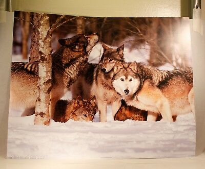 3529 GRAY WOLVES NORWAY Animal Poster Photo Poster Print Art A0 A1 A2 A3 A4