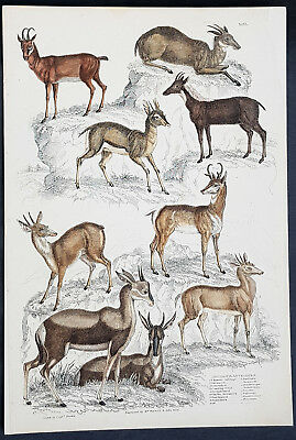 1830 Captain Thomas Brown Antique Print of Nine Species of Antelopes (90663)