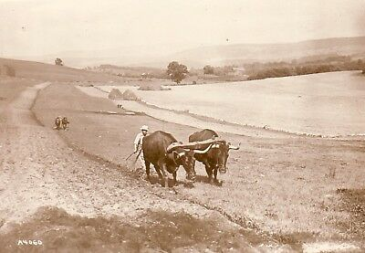 Plowing with Oxen Connecticut Farming Ox Charrue Bœufs old Photo 1920's