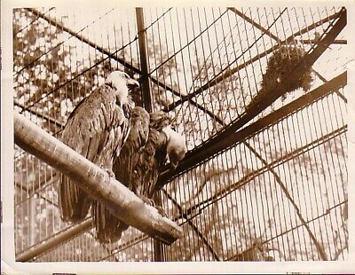 England Zoo Life Vultures Birds Vautours en cage UK Angleterre old Photo 1930'