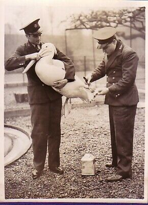 London Zoo Life Pelican Keepers Precaution against frost contre gel Photo 1936
